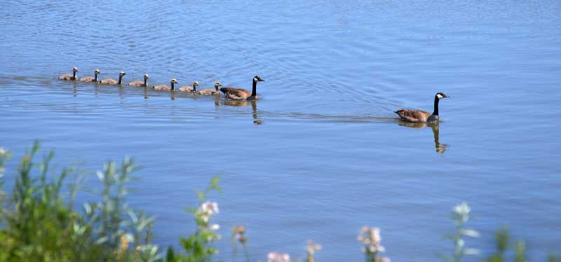 geese and baby geese